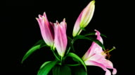 Pink Lily Blooming