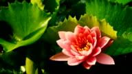 Loto rosa in time lapse di fioriture