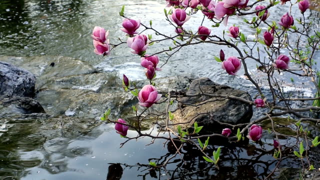 Pink Magnolia über stream