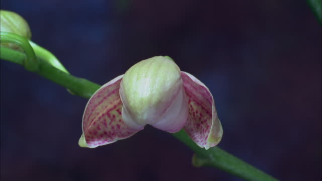 Pink orchid blossoming Available in HD.