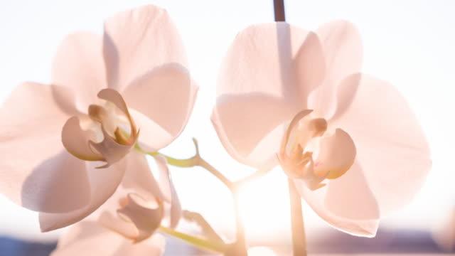 Rosa Orchideen Blüten hell erleuchtet
