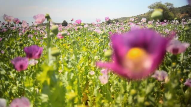 CU R/F Pink poppy field, Pamukkale, Denizli, Turkey