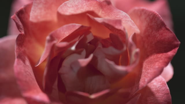 A pink rose blooms and wilts. Available in HD.