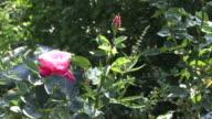 A pink rose in dappled sunlight.