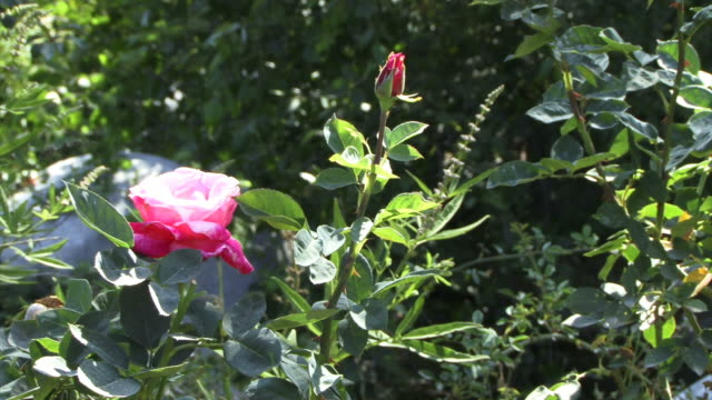 A pink rose in dappled sunlight.