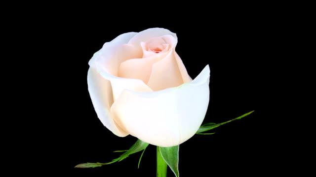 Pink rose; TIME LAPSE