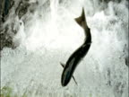 Pink salmon (Oncorhynchus gorbuscha) attempt to jump up waterfall, British Columbia, Canada