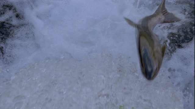 Pink salmon struggle to jump up a waterfall in British Columbia, Canada. Available in HD.