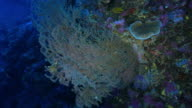 Pink sea fan, undersea, coral reef, Philippines
