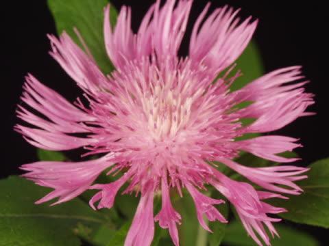 CU T/L Pink stokesia blooming