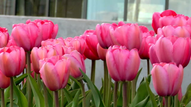 Pink Tulips Blowing in the Breeze