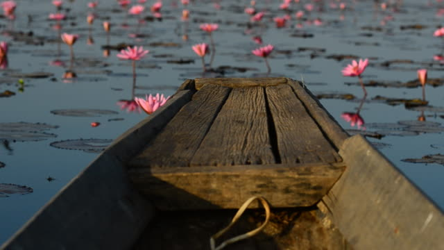 Rosa Seerose im lake