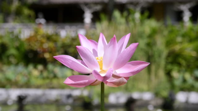 CU Pink water lily / Tirta Ganga, Indonesia