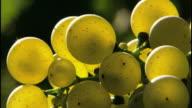 Pip fruit - the grape