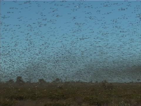 Pest Locusts