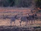 MS Plains Zebra, Boehm's race, 4 walking, 3 stop alert, looking to camera, Mana Pools, Zimbabwe