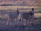 MS 3 Plains Zebra, Boehm's race, standing, looking around, swishing tails, Mana Pools, Zimbabwe