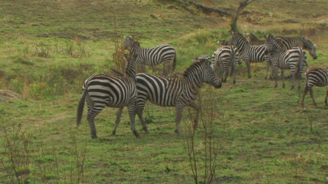 Plains Zebra (Equus quagga) herd with pair fighting, Tanzania