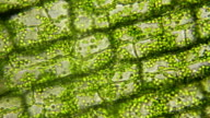 Plant cells with chloroplasts moving, microscopic view