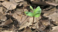 plant growing, beechnut