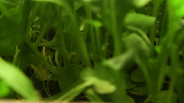 Plant leaves at Aerofarms in Newark New Jersey US on October 29 2014 Shots of Close ups of plant leave and LED lights Close up of argula and basil...
