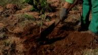 Plantando Árvore de laranja em um Campo de Agricultura de Laranja