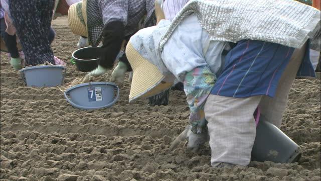 Planting Rakkyo Bulbs, Tottori, Japan
