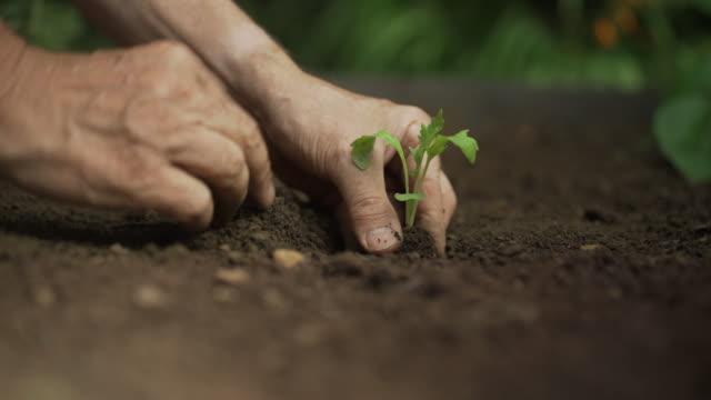 Planting vegetable seedling