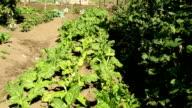 MCU plants growing on farm, KwaZulu Natal, South Africa