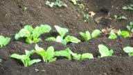 MS plants growing on farm, KwaZulu Natal, South Africa
