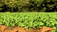 LS plants growing on farm, KwaZulu Natal, South Africa