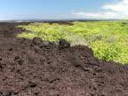WS plants on volcanic rock terrain, Hawaii Volcanoes National Park, The Big Island, Hawaii, USA