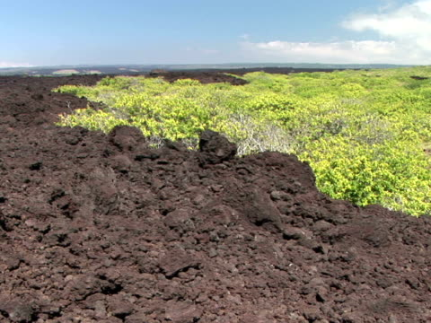 WS plants on volcanic rock terrain, Hawaii Volcanoes National Park, The Big Island, Hawaii, USA