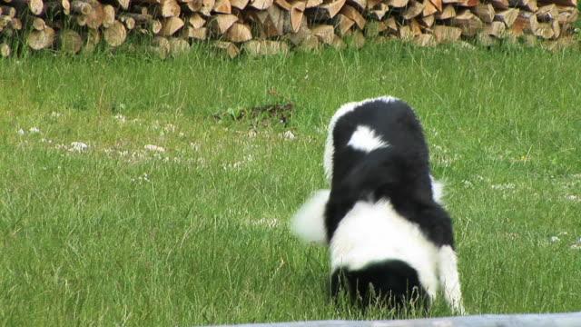 HD: Playful dog