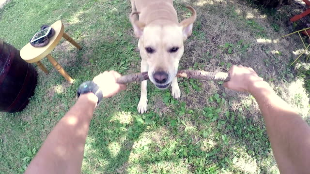 POV: Playful Labrador Retriever