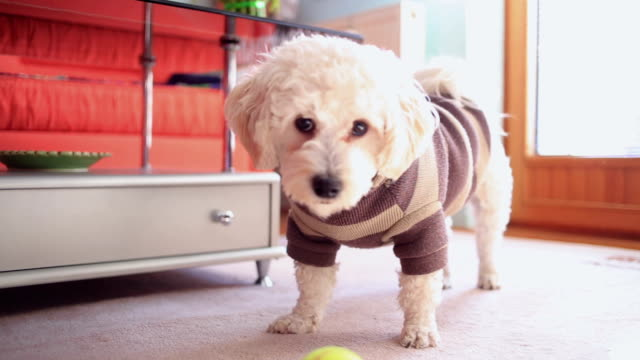 Playfull carino piccolo cane