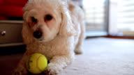 Playfull niedlichen kleinen Hund
