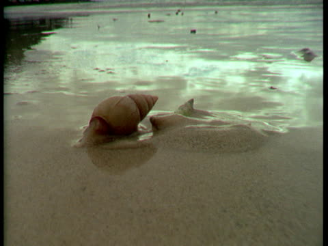 A plough snail crawls across wet, thick sand.