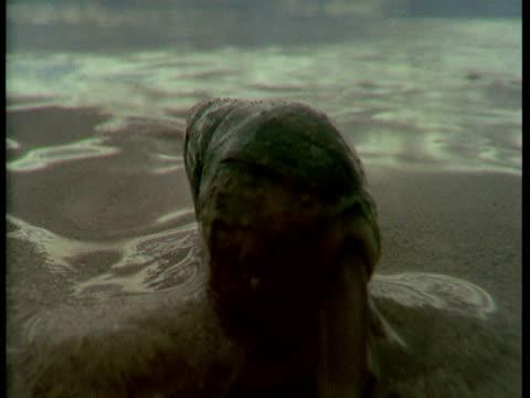 A plough snail crawls along the wet sand.