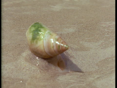 A plough snail inches across wet sand.