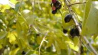 Plucking fruit