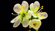 Plum flower blooming against black background in a time lapse