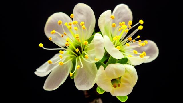 Plommon blomma blommar mot svart bakgrund i en tidsinställd