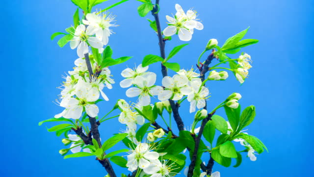 Plum flower blooming