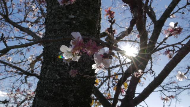 Plum flower, branches with sunbeam, Chichibu