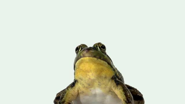 CU, ZO, MS, Plump green frog croaking on white background