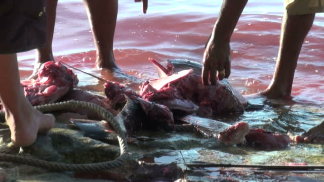 Poaching episode,dramatic live reportage (marlin dissection)