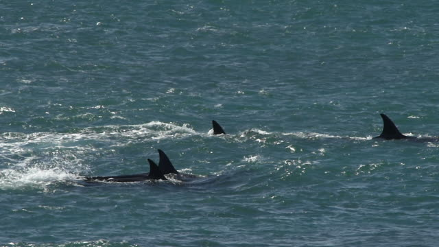 Pod of Orcas cruising through the waves in Punta Norte