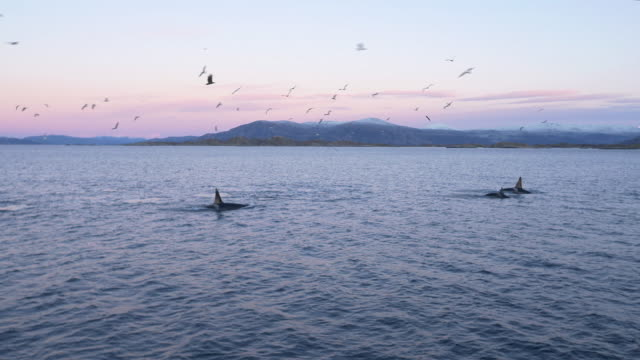 A pod of Orcas is swimming at magic hour in northern Norway
