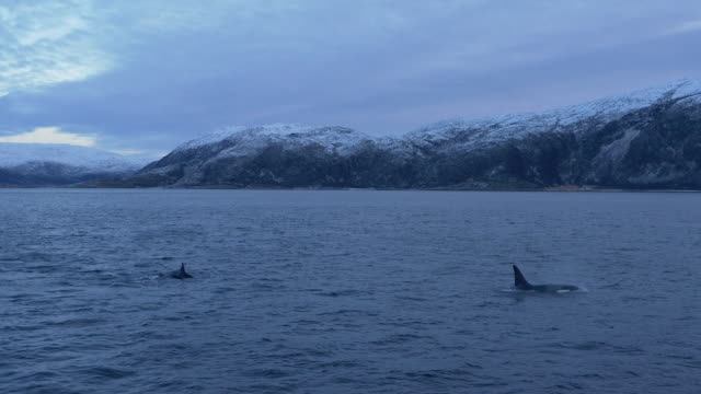 A pod of Orcas is swimming in northern Norway